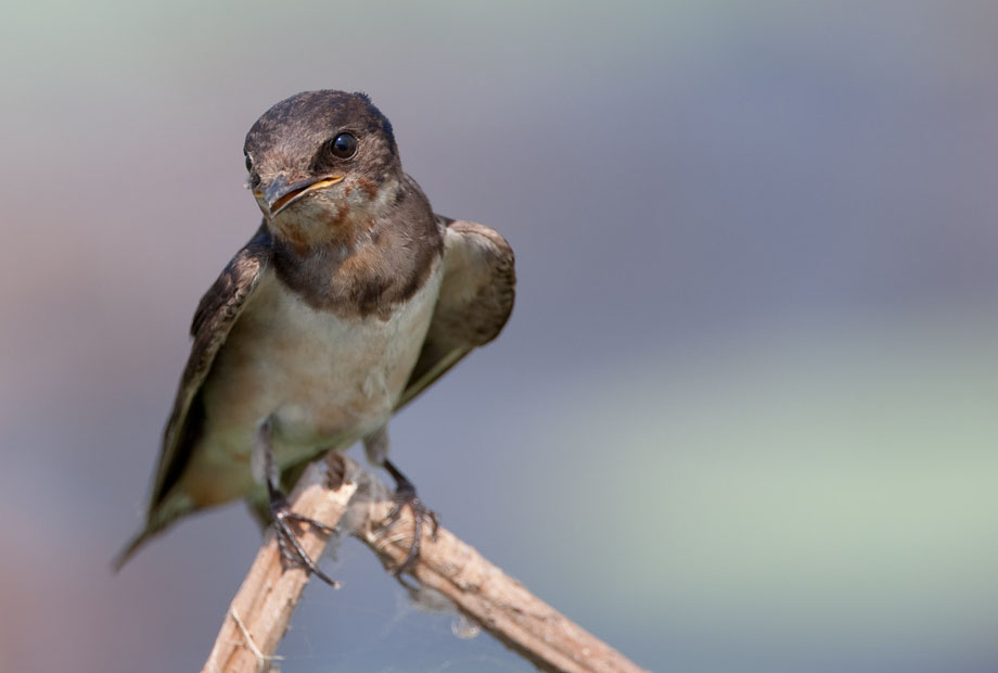 Beautiful Swallow - DOF example