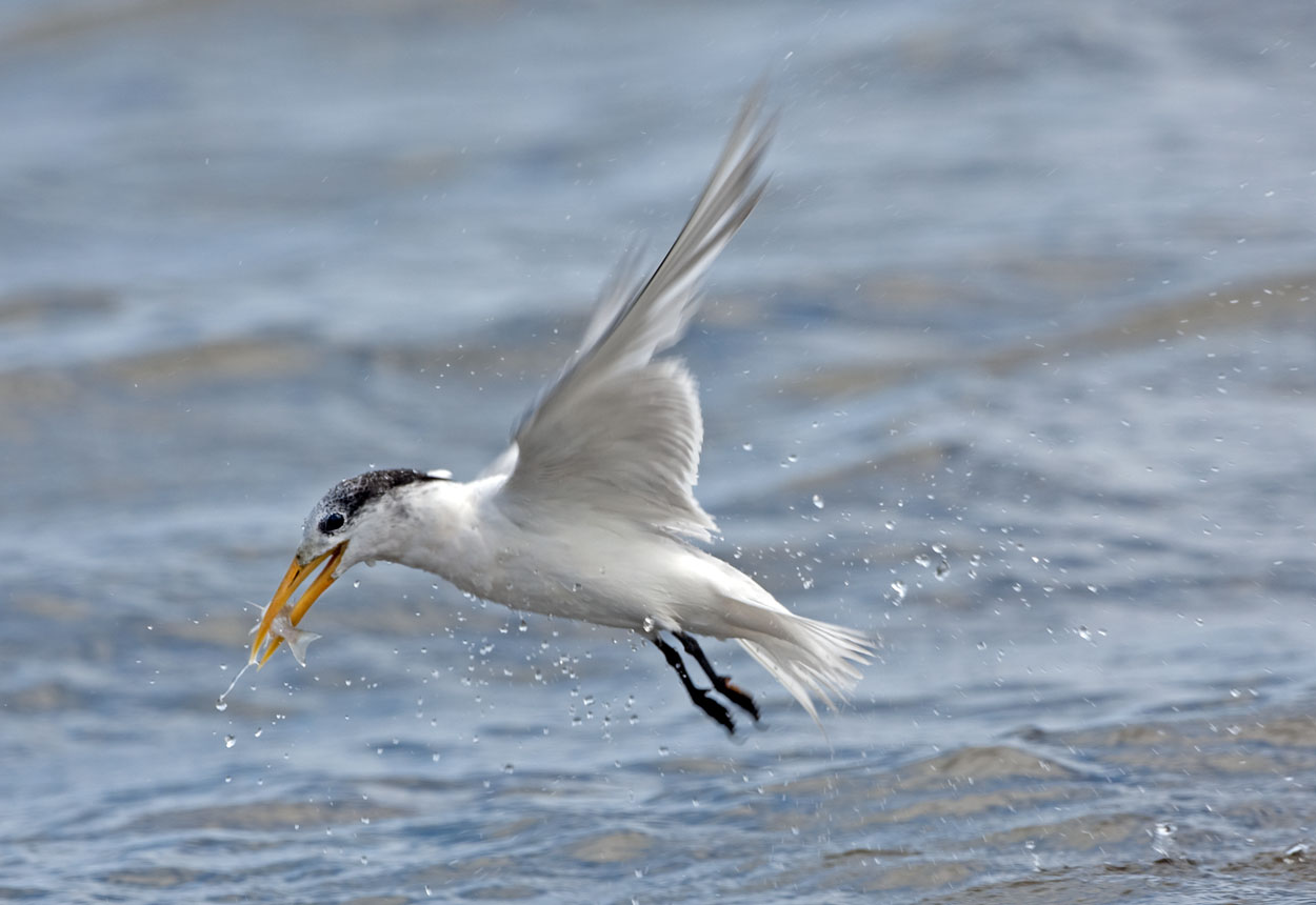 Fishing Tern - Cervantes