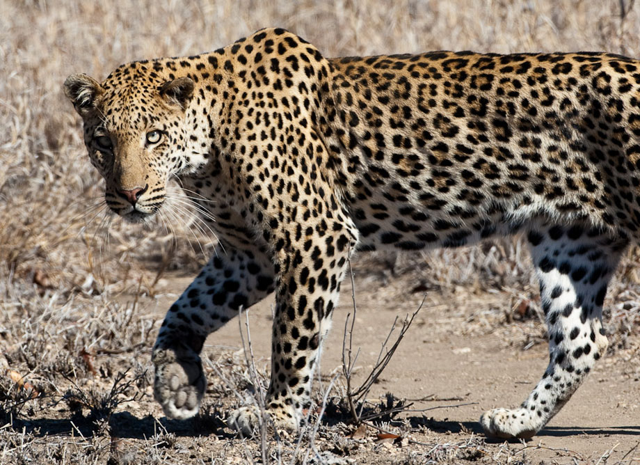 Kruger - three Leopards in one day!!