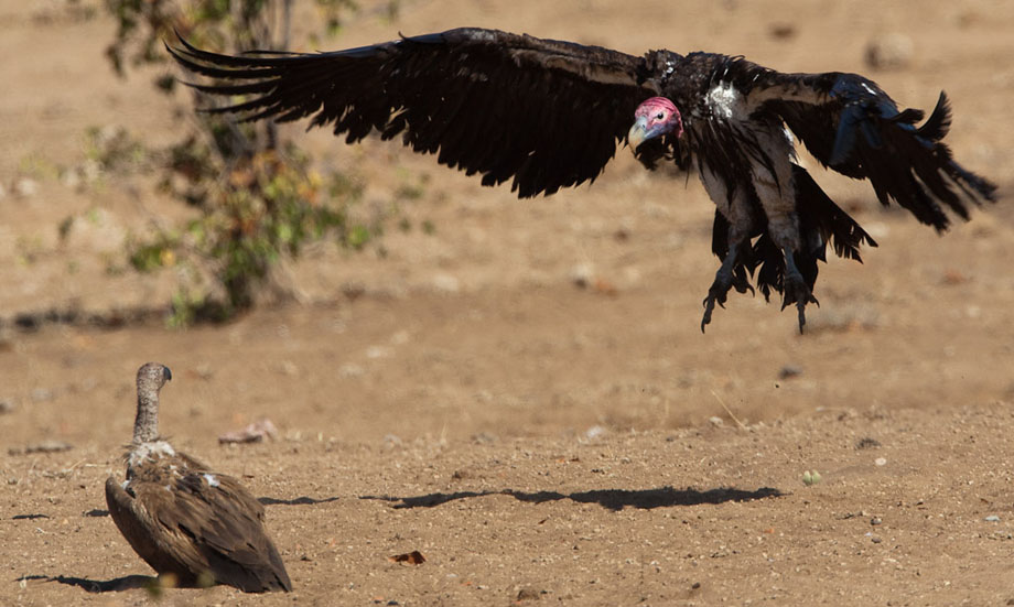 Kruger - A Vulture at a time