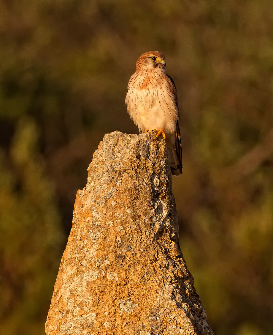 Pinnacles - Kestrel
