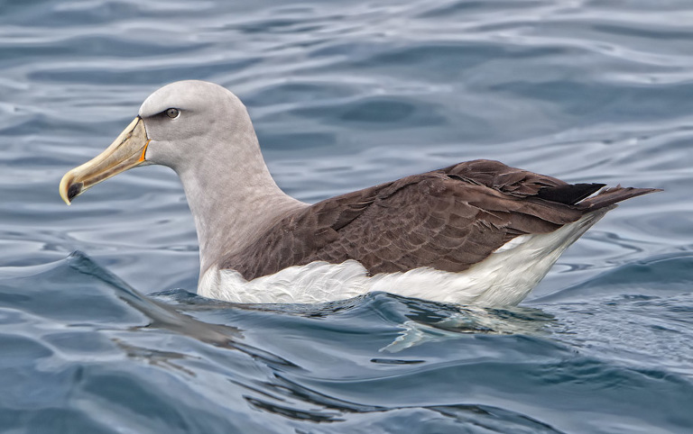 Albatross, Kaikoura
